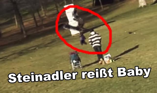 steinadler-reisst-baby-golden-eagle-snatches-kid