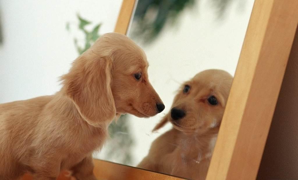 animal-in-mirror-dog animals and mirrors wenn sich tiere im spiegel betrachten