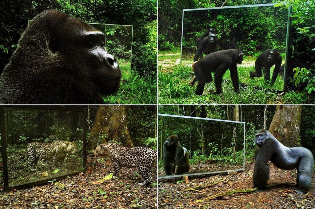 animals-and-mirrors-affen wenn sich tiere im spiegel betrachten