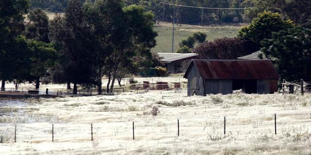 Spinnenplage in Argentinen sorgt für Ekel und Horror. Riesiger Haufen voller Spinnen im Spinnennetz. Ekelhaft aber schön zugleich