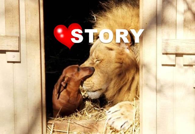 mutiger-dackel-löwe-lion-lovestory