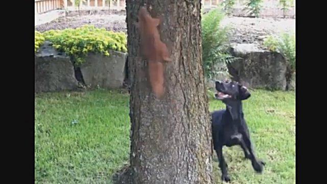 hund und eichhörnchen spielen am baum hund frisst eichhönchen lebendig dog eats squirrel Hund und Eichhörnchen Dog and Squirrel Lustiges Video Funny Video am Baum