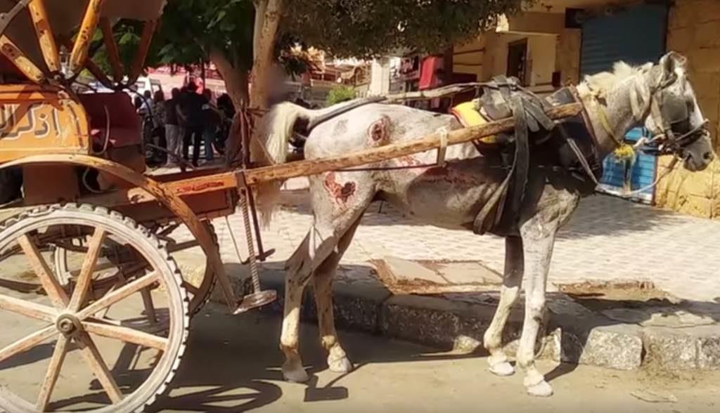 Pferd in Ägypten. Wunden am ganzen Körper. Gequält für Touristen
