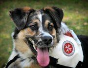 Rettungshund Symbolbild Hund rettet kleines Mädchen vor dem Ertrinken in einem Fluss Tierrischer Held