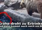 Bär rettet Krähe vor dem Ertrinken Bär rettet Vogel im Zoo
