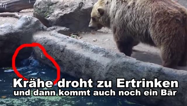 Ausgewachsener Braunbär rettet Krähe vor dem Ertrinken