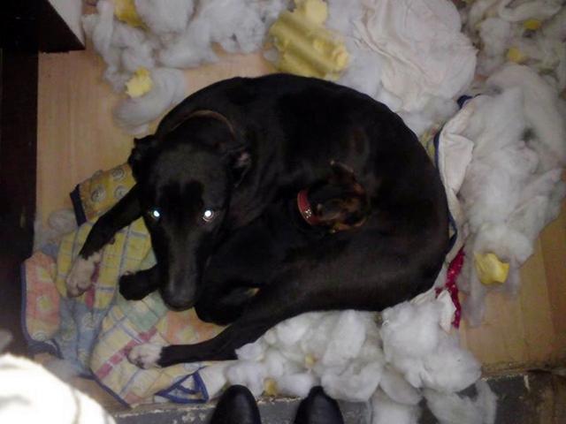 dog-pillow-exploded-funny-animal-hund-kissen-explodiert-4