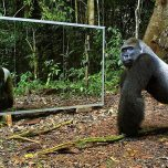 Animals and Mirrors - Erkennen die Tiere sich selber ?