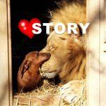 Mutiger Dackel attackiert Löwen
