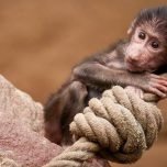 Nass und niedlich: Mini-Affe wird gebadet