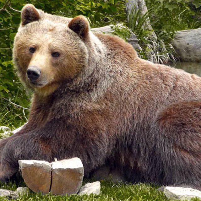 Kanada Riesiger Braunbär attackiert Kamerateam