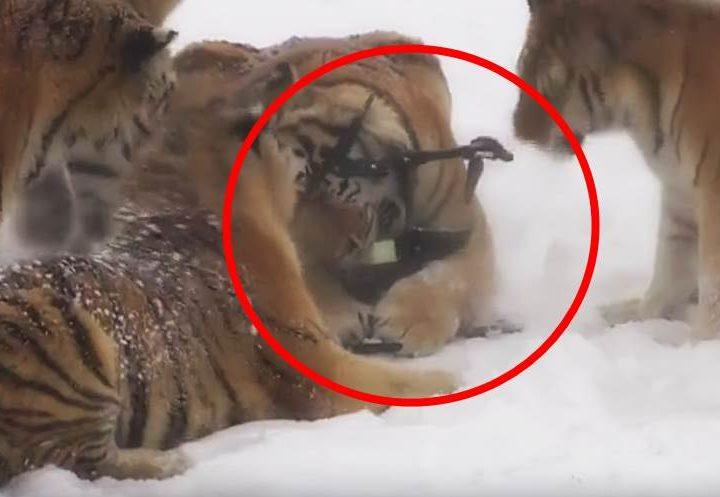 tiger jagen drone