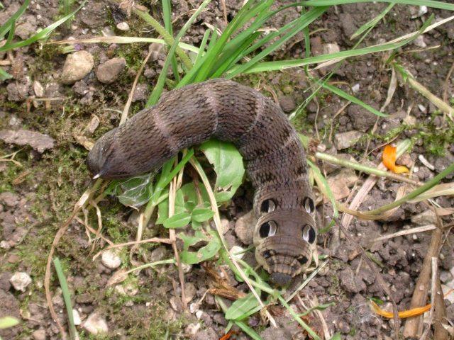 Eigenartiges seltsames Schlangen-Wesen in Argentinien gefunden - Raupe Mittlerer Weinschwärmer