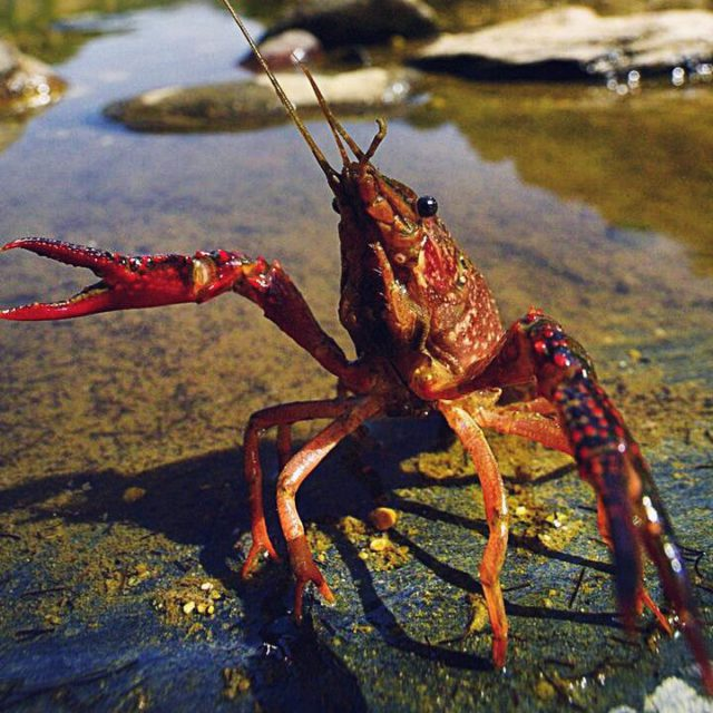 Invasive Rote Sumpfkrebse erobern Berlin Naturschützer warnen Tiergarten
