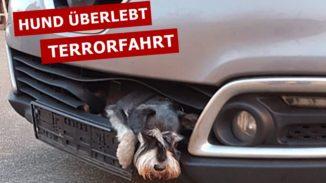Zwergschnauzer steckt zehn Stunden in Kühlergrill fest hund überlebt terrorfahrt