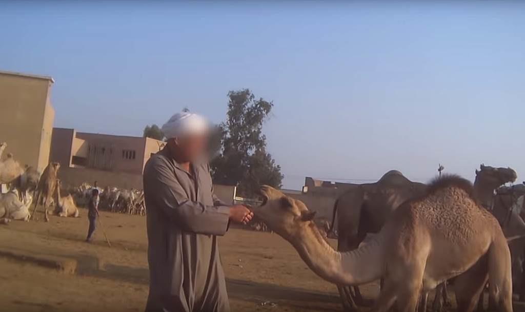 Ägypter zieht einem Kamel am Maul