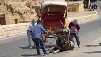wenn pferde in ägypten für touristen leiden und bluten müssen