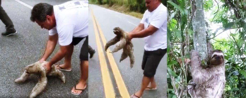 Mann rettet Faultier auf der Straße das Leben und die Reaktion des Tieres ist unglaublich