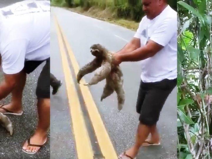 Mann rettet Faultier auf der Straße das Leben. Die Reaktions des Tieres ist herzergreifend.